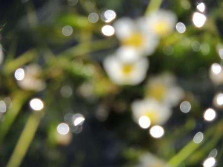0668梅花藻
