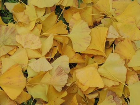 N0862黄葉