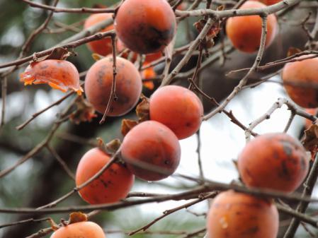 N1069柿の実