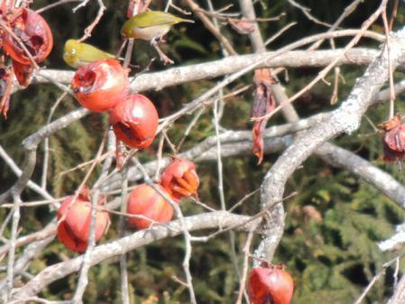 N1456柿とメジロ