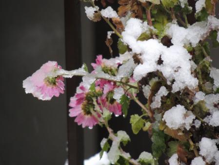 N1555寒菊