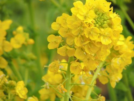 N1702菜の花