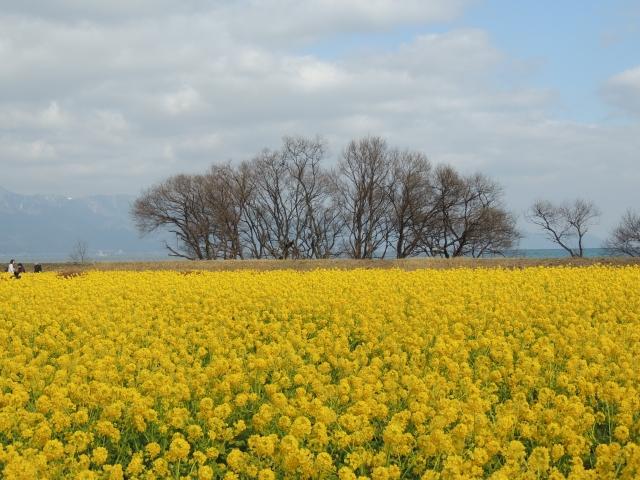 N1705菜の花畑
