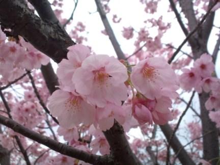 024 天保山の桜
