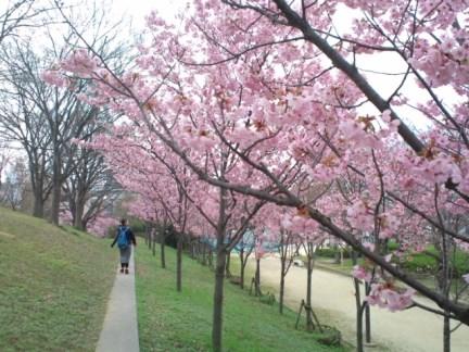 025 天保山の桜