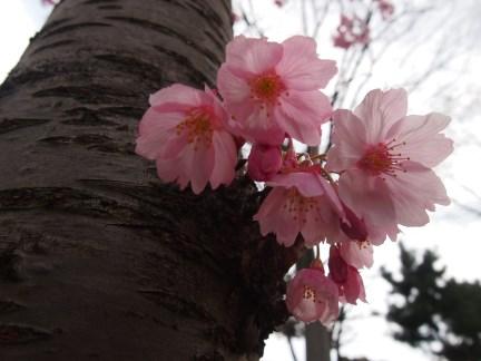 追加016 天保山の桜