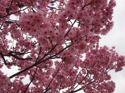 追加017 天保山の桜