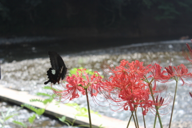 彼岸花に蝶々