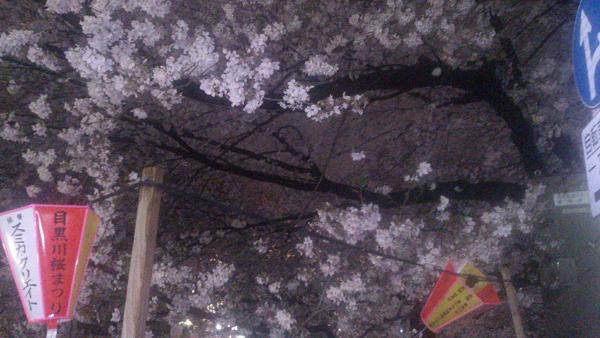 DSC_0168目黒川の桜