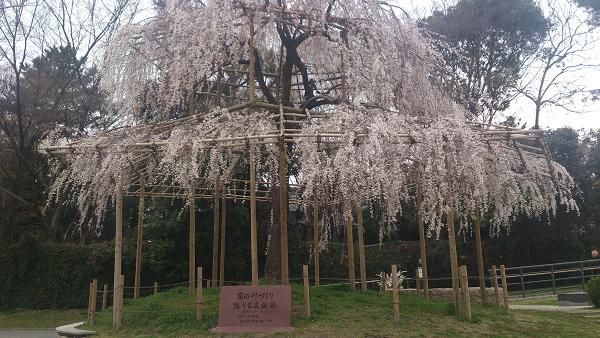 京都 鴨川 しだれ桜