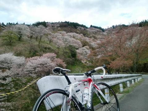 20100410またまた吉野桜1555