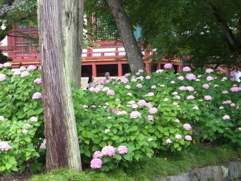 20110619紫陽花の寺ポタ1424