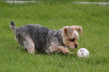 ボールと戯れるココアちゃん1