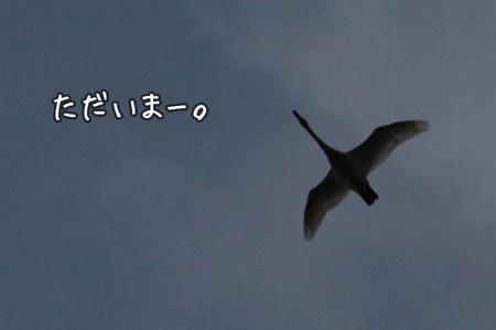 白鳥「ただいまー」