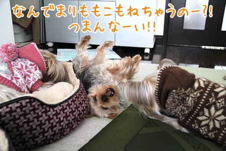 まりもこ睡眠、ココアちゃんはぷんぷん。