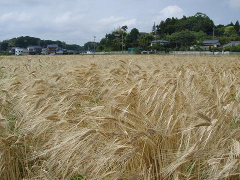 黄金色の麦