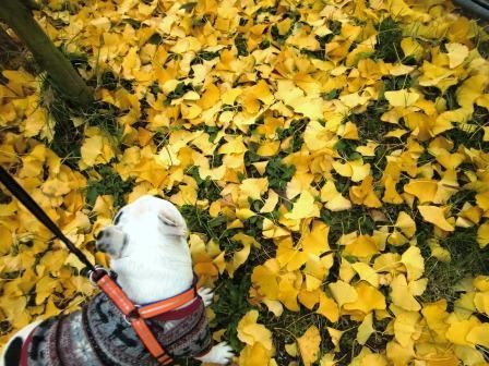黄色い絨毯やでぇ