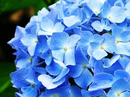 ajisai_001_20110531175030.jpg