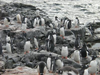 たくさん ペンギン2