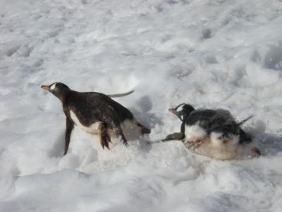 氷河の上を滑るペンギンたち