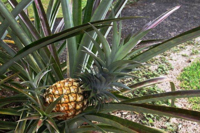 Our Own Pineapple