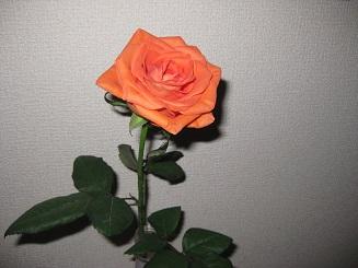 orangerose20140921.jpg