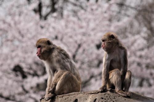 桜とニホンザル