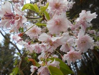 2504桜