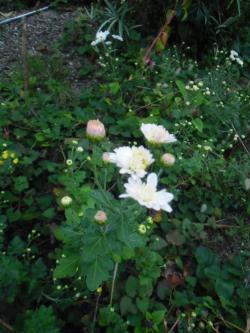 10-30菊