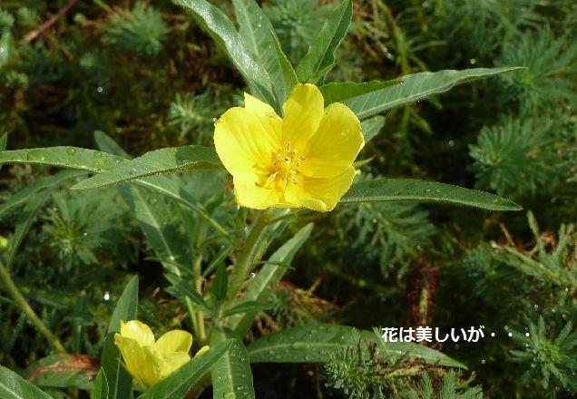 オオバナミズキンバイの花