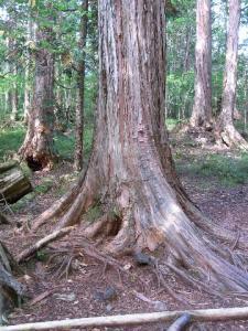 赤沢自然休養林 クリックで拡大