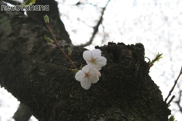 IMG_8279桜6