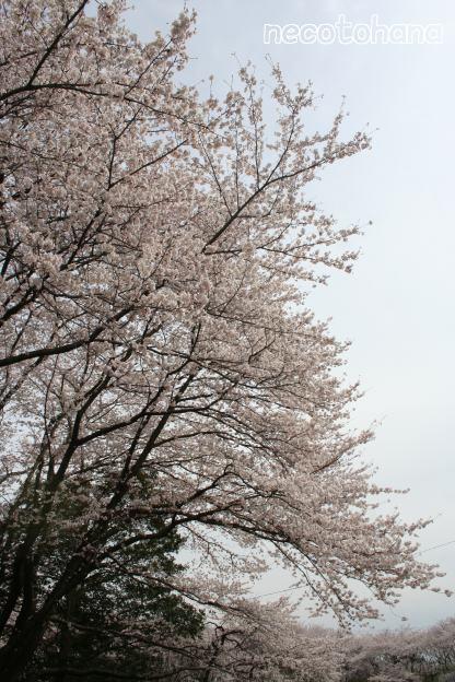IMG_8272桜4