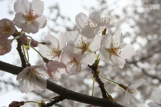 IMG_8275桜5