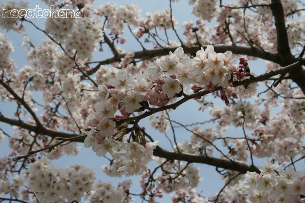 IMG_8265桜3