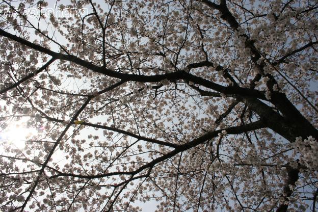 IMG_8262桜2