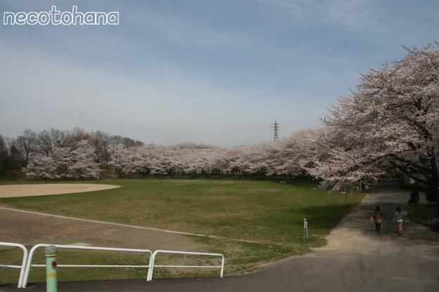 IMG_8263桜1