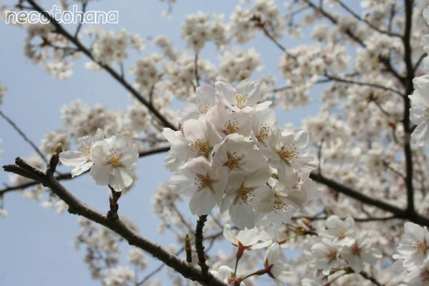 IMG_8311桜12