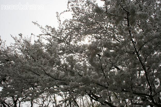 IMG_8300桜11