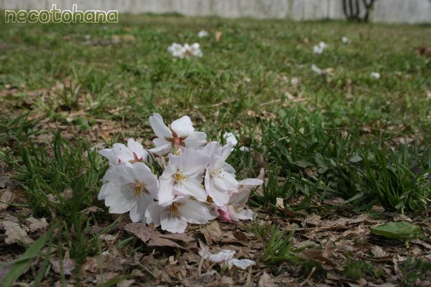 IMG_8293桜10