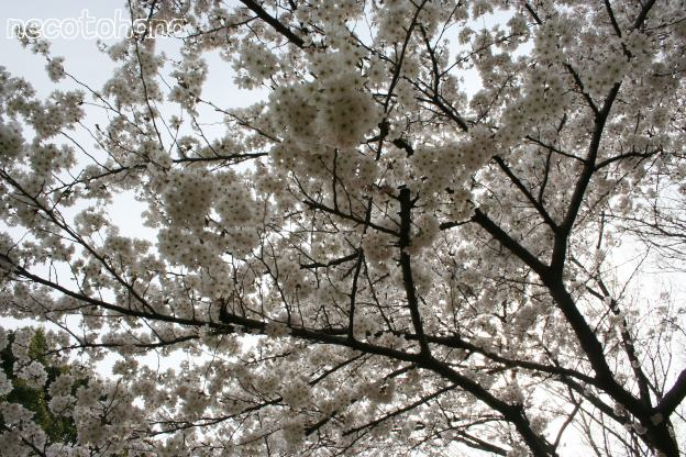 IMG_8289桜8