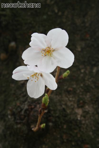 IMG_8287桜7
