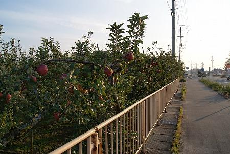 長野 りんご1
