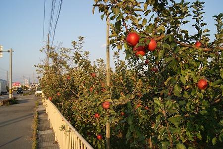 長野 りんご2