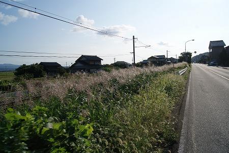 石川 道端のススキ