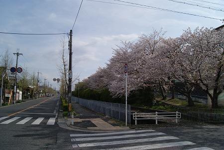 桜満開狭山