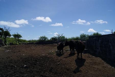 波照間島 牛3頭
