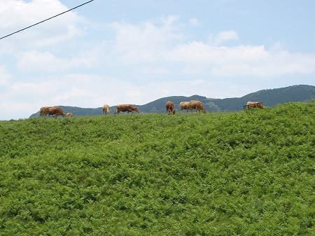 阿蘇山 牛