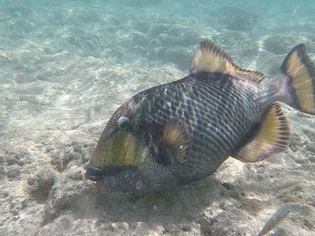 謎の岩を食うお魚