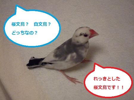 白文鳥疑惑